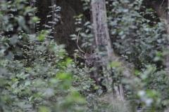 Jeleń szlachetny (19)