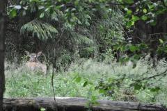 Jeleń szlachetny (52)